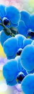 А2-007  Орхидея синяя  100*270  фотопанно